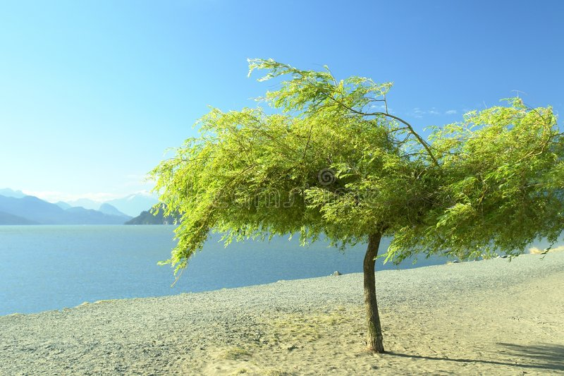 Willow Tree Sand Lake. View of Harrison Lake with a willow tree blowing on the beach royalty free stock photography