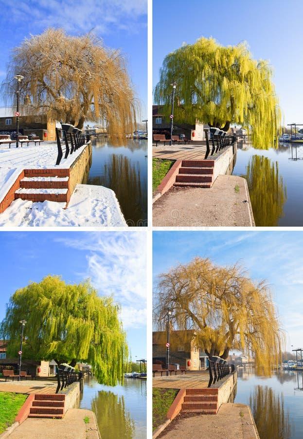 Willow tree set. Set of four willow tree photos summer winter spring and autumn stock photo