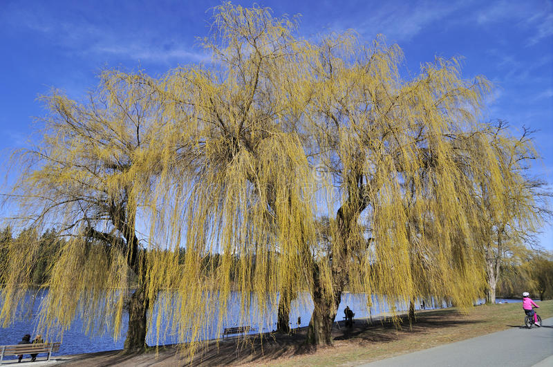 Download Willow Tree Is Sprouting Stock Image - Image: 24832221
