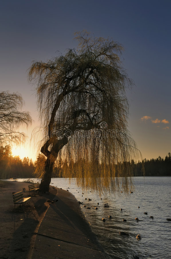 Willow Tree Sunset. Sunset behind willow tree. Stanley Park, Vancouver, BC, Canada stock image