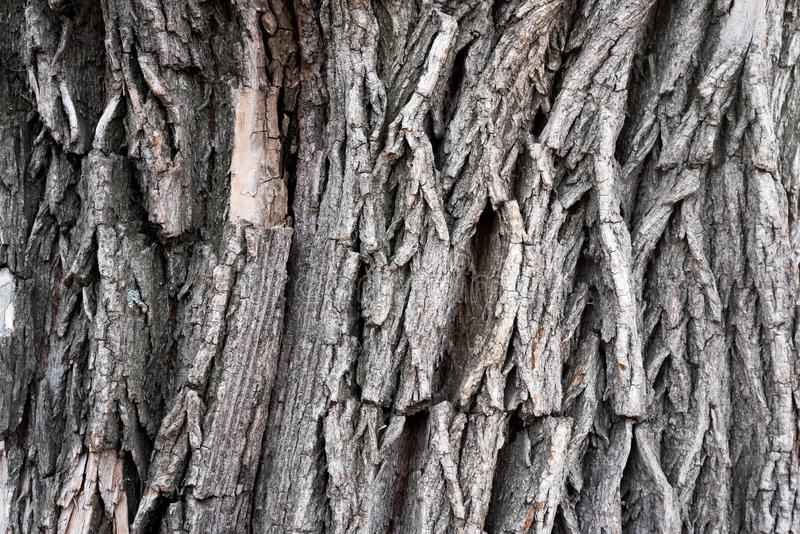 Willow tree texture. Willow tree bark texture background royalty free stock photo