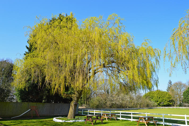 A Willow Tree. In a traditional English beer garden at a country pub royalty free stock photo