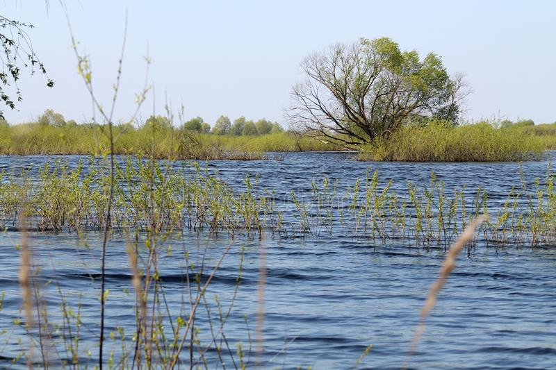 Willow tree in water. Landscape with spring flooding of Pripyat River near Turov, Belarus. Willow tree in water. Landscape with spring flooding of the Pripyat royalty free stock photo