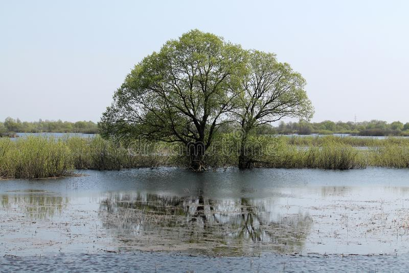 Willow tree in water. Landscape with spring flooding of Pripyat River near Turov, Belarus. Willow tree in water. Landscape with spring flooding of the Pripyat royalty free stock photos