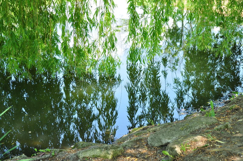 Willow tree wooden water mirror royalty free stock photography