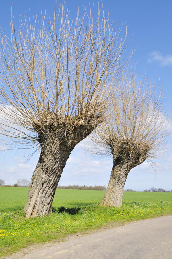 Willow Trees. Two Willow trees in the Spring sun. One almost expect that the Soldier and the Old woman searching for the Tinderbox is just around the Corner. But royalty free stock photography