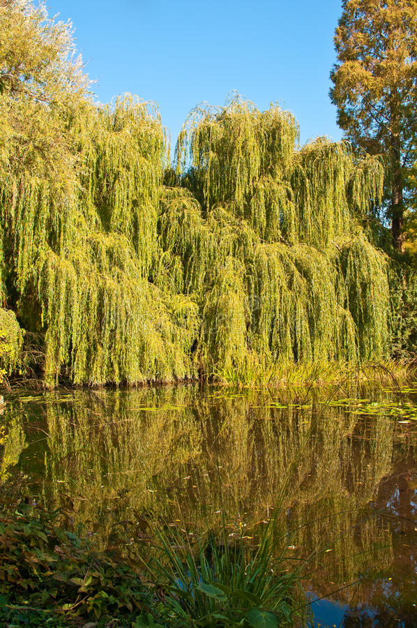 Willow Trees By Lake Royalty Free Stock Images