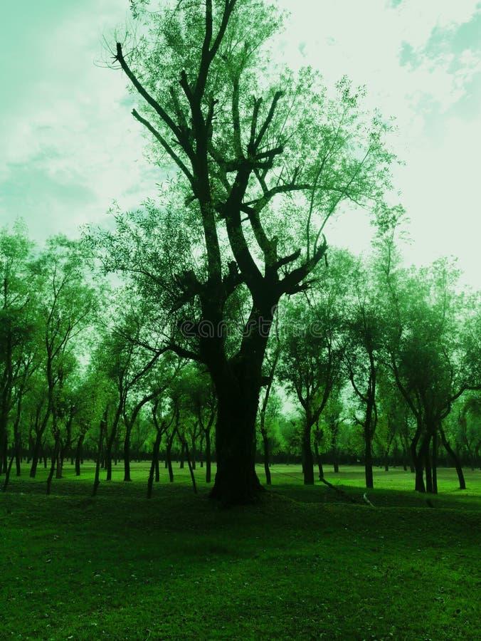 Willow Tress In Forest Nursery In Kashmir Valley Indien fotografering för bildbyråer