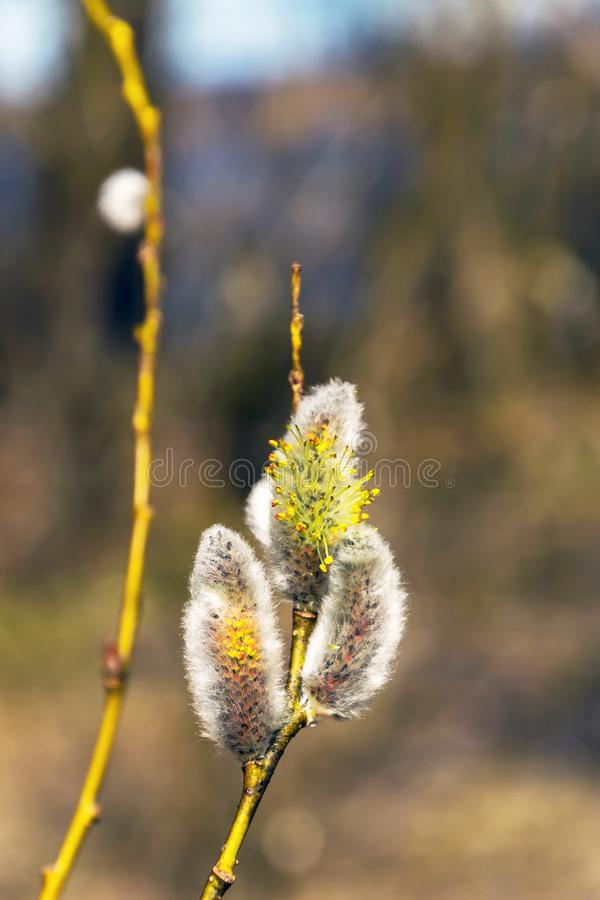 Willow twigs with budding buds in early spring. On a blurred background of sky and bushes stock photography