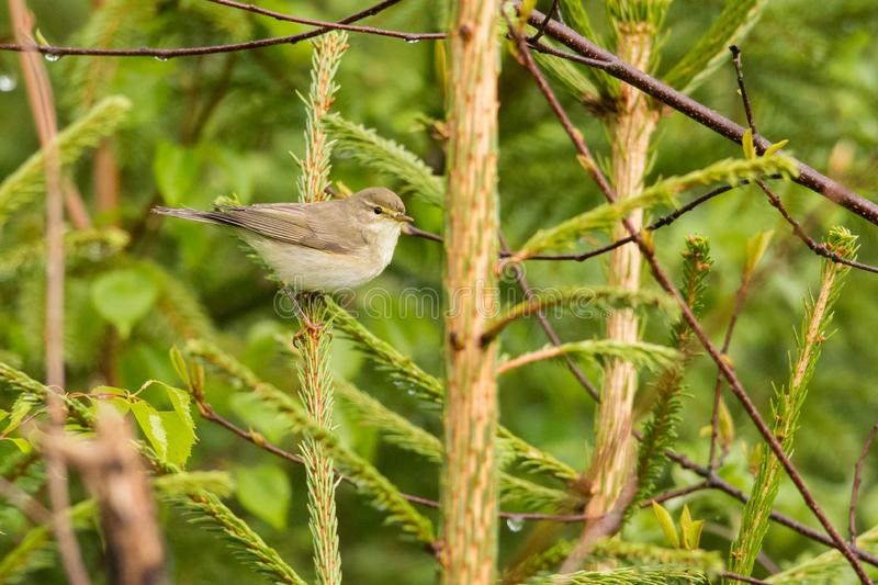 Willow Warbler immagini stock