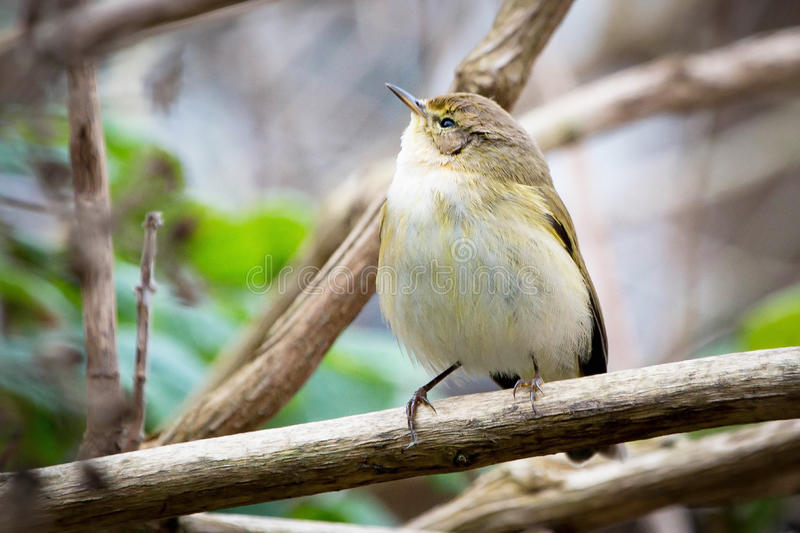 Willow Warbler Chiffchaff perched on branch. Willow Warbler Chiffchaff spotted in the branches in the garden stock photos
