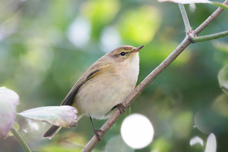 Willow Warbler Chiffchaff perched on branch. Willow Warbler Chiffchaff spotted in the branches in the garden royalty free stock photo