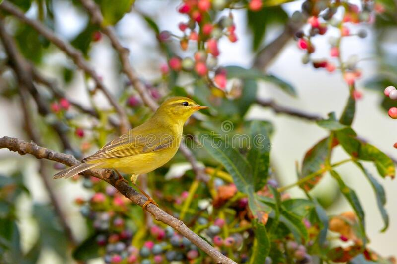 Willow Warbler, Greece stock photography