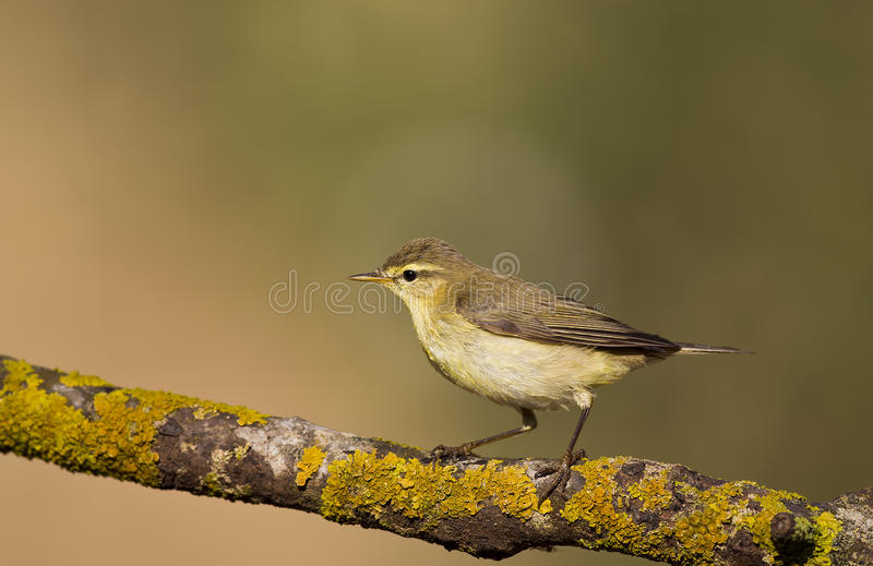 Download Willow Warbler On A Lichen Wood Stock Photo - Image: 33974330