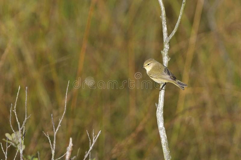 Willow warbler in the morning. Willow warbler in spring in the morning in saxon stock photos