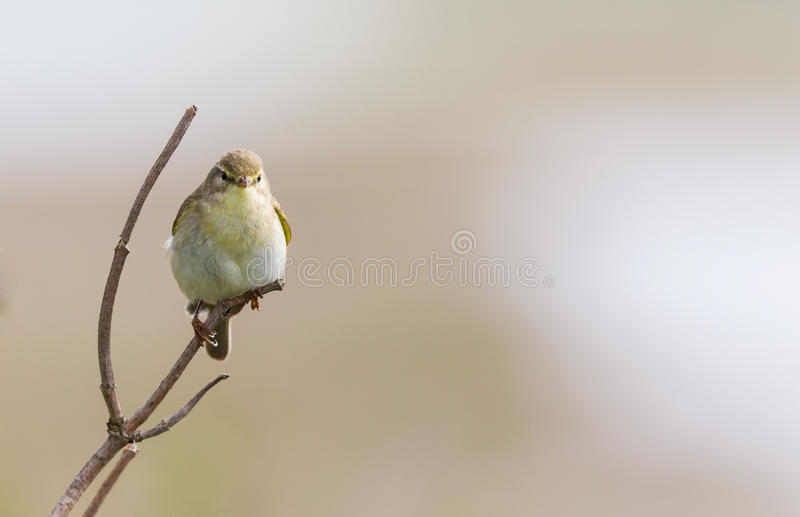 A Willow warbler perched. royalty free stock photo