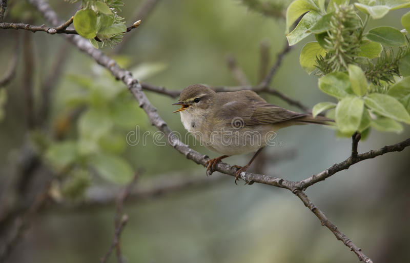 Download Willow Warbler, Phylloscopus Trochilus Stock Photo - Image: 33592616