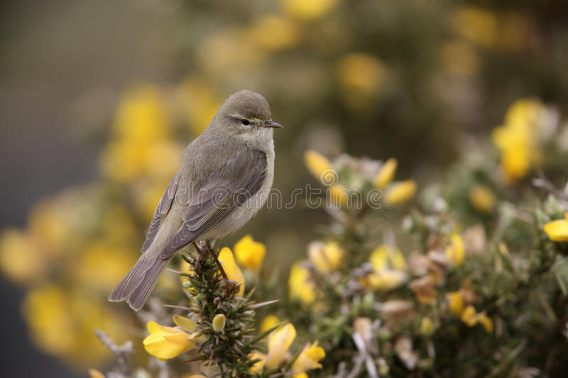 Download Willow Warbler, Phylloscopus Trochilus Stock Image - Image: 33592589