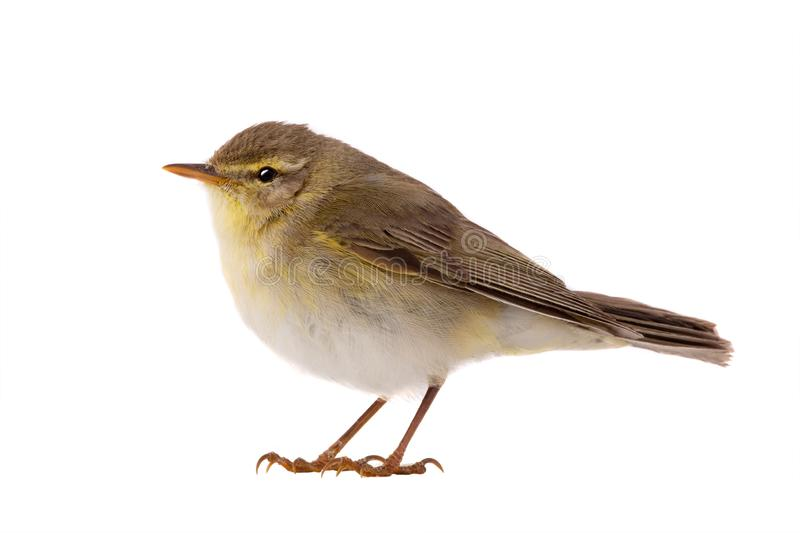 Willow Warbler Phylloscopus trochilus. Isolated on a white background royalty free stock photo
