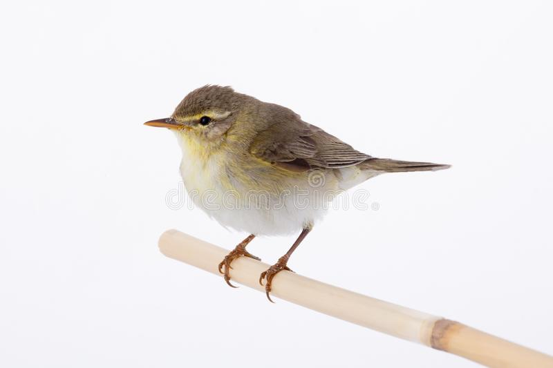Willow Warbler Phylloscopus trochilus isolated on a white. Background royalty free stock images