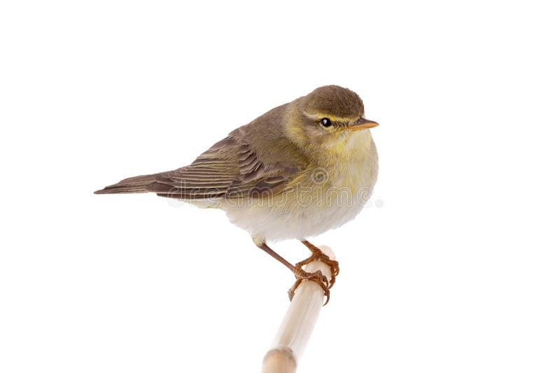 Willow Warbler Phylloscopus trochilus isolated on a white. Background stock image