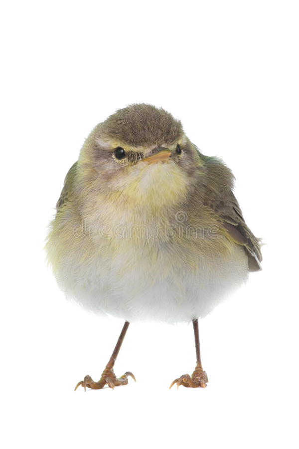 Willow Warbler Phylloscopus trochilus. Isolated on a white background stock photos