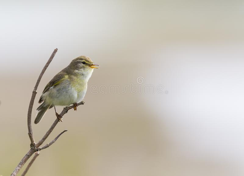 A willow warbler Phylloscopus trochilus perched on a branch and singing.With a beautiful clean brown colored background. royalty free stock photo