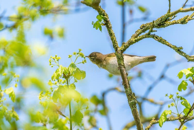 Willow Warbler ( Phylloscopus trochilus) Reino Unido admitido imagenes de archivo