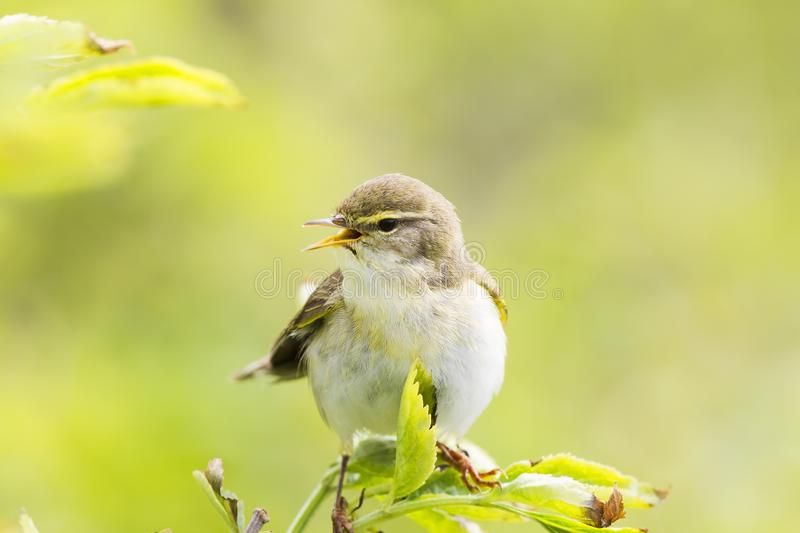 A willow warbler Phylloscopus trochilus showing its territory by singing loud on a branch. In a bright green background with lea stock photos
