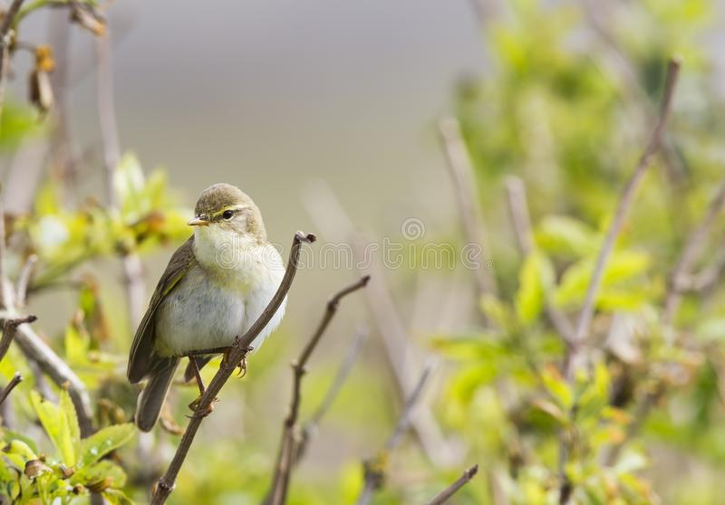 A willow warbler Phylloscopus trochilus showing its territory by singing loud on a branch. In a bright green background with lea royalty free stock images