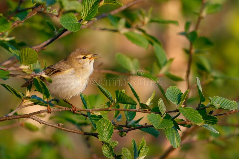 Willow Warbler sings in bushes royalty free stock image
