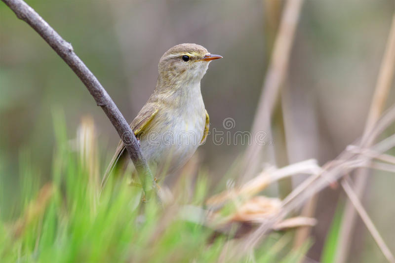 Willow Warbler sitting. Willow Warbler sings on the branches stock photos