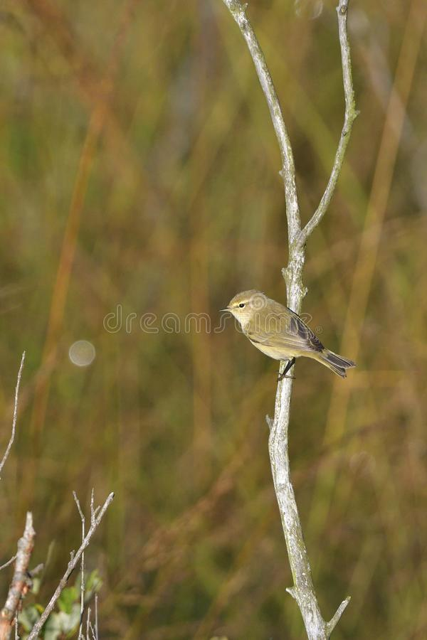 Willow warbler in the morning. Willow warbler in spring in the morning in saxon stock photography