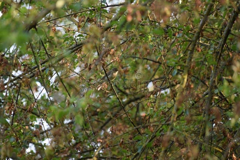 Willow warbler royalty free stock photos