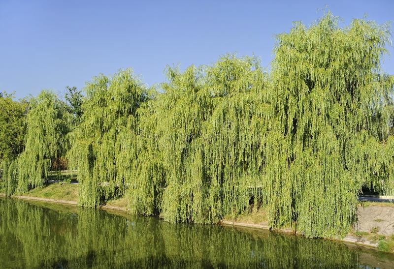 Willow weeping. Willow Babylonian (weeping) on the lake royalty free stock photos