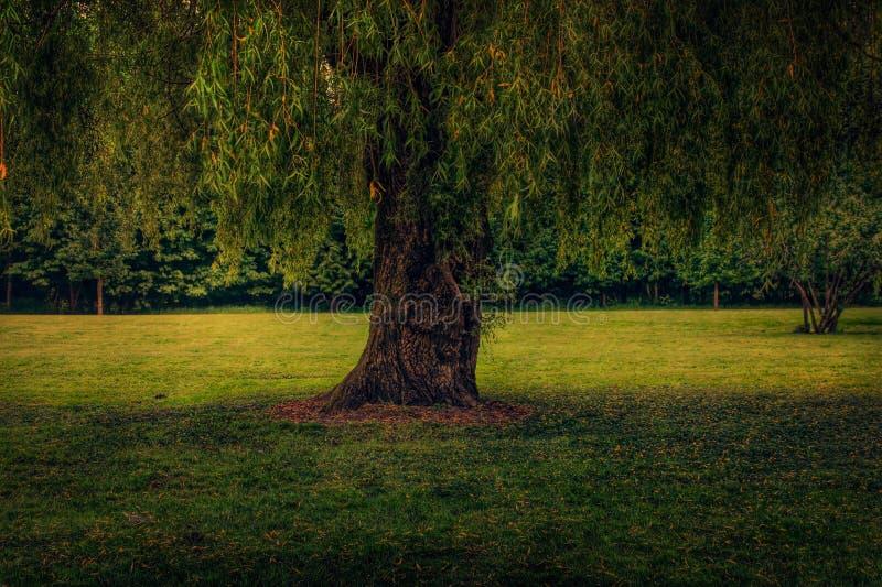 Willow royalty free stock photos
