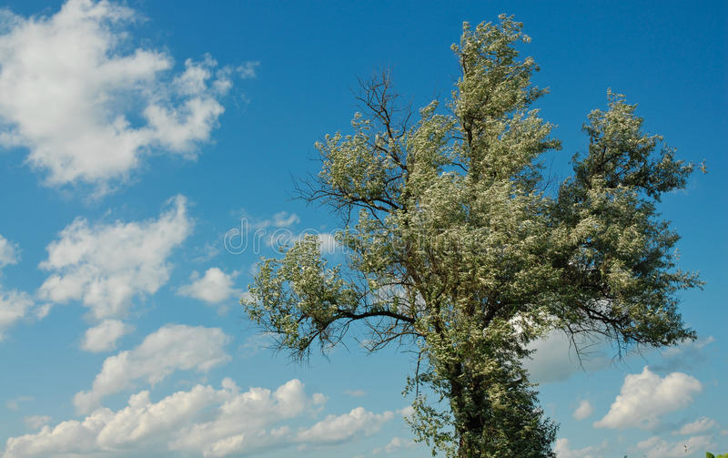 Download Willow on the wind stock image. Image of white, branch - 20248753
