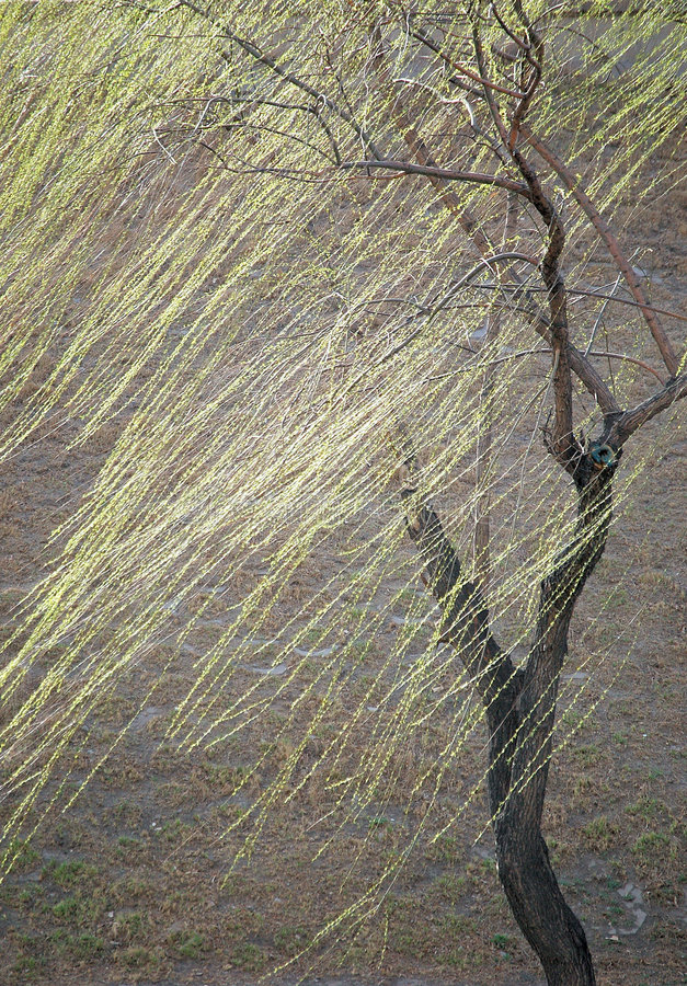willow wiosny zdjęcie royalty free