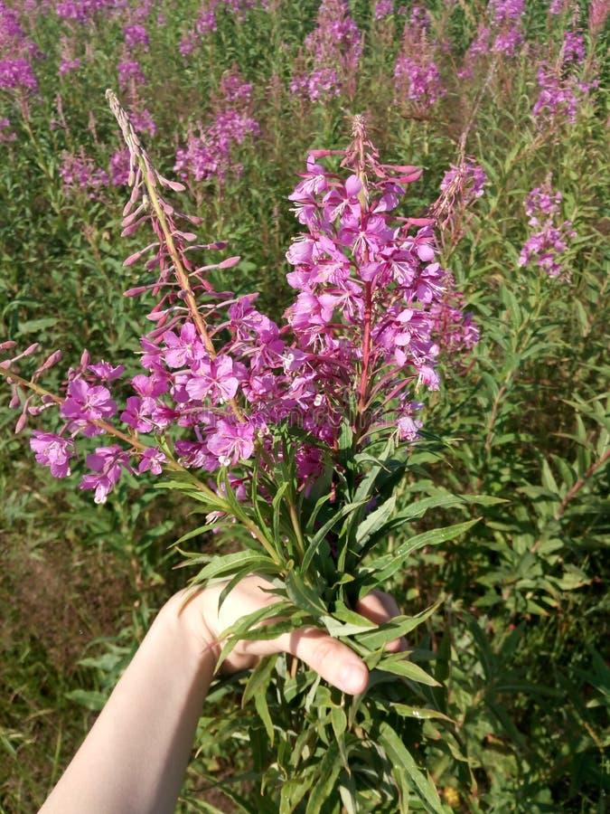 willower花束在手中在伊冯TeaHarvesting叶子和花的一个开花的领域的背景在清凉茶 图库摄影