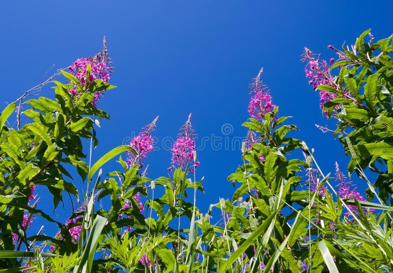 Download Willowherb de Rosebay foto de stock. Imagem de jardim - 16859730