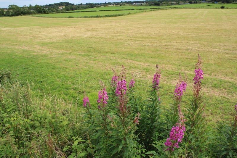 Willowherb di oleandro di fioritura alla campagna a Stirling di estate fotografia stock libera da diritti