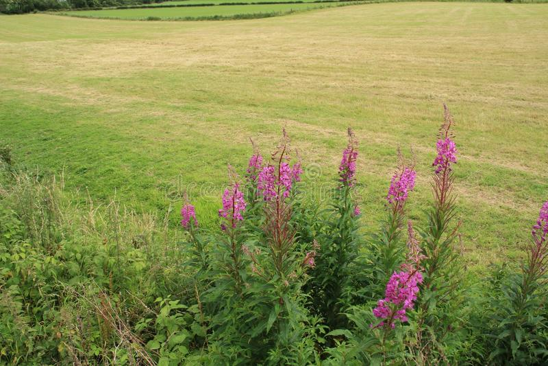 Willowherb di oleandro di fioritura alla campagna a Stirling di estate fotografia stock