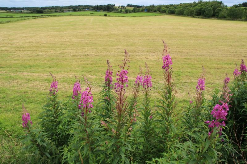 Willowherb di oleandro di fioritura alla campagna a Stirling di estate fotografie stock libere da diritti
