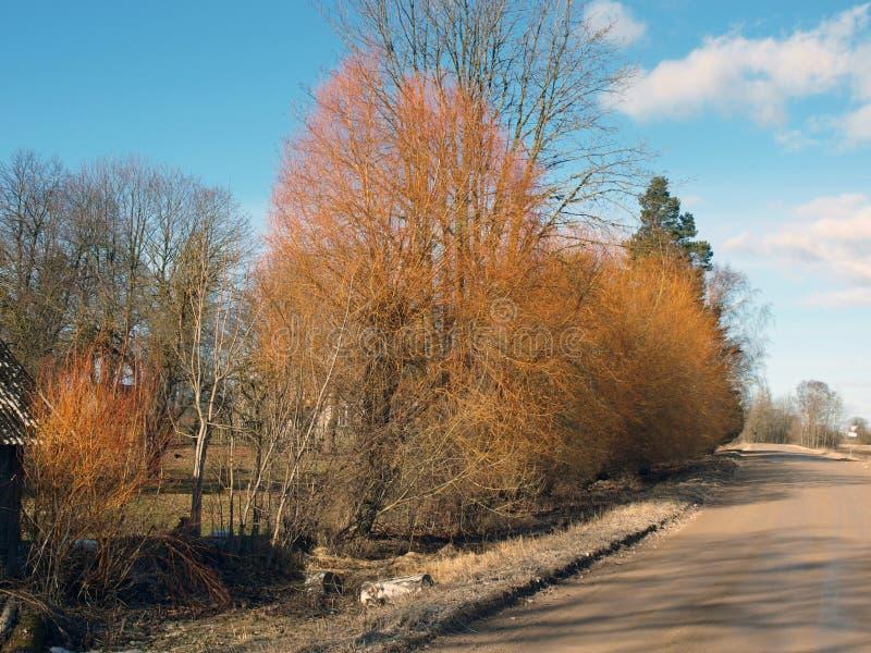 Yellow Willows Stock Photo