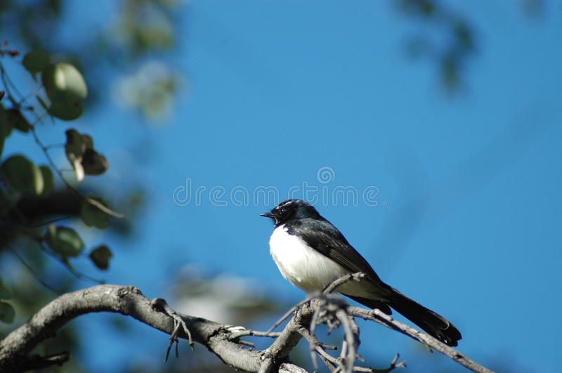 Download Willy Wagtail stock image. Image of leaves, australian - 17150725