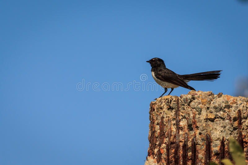 Download Willy Wagtail image stock. Image du gazouillement, faune - 45362853