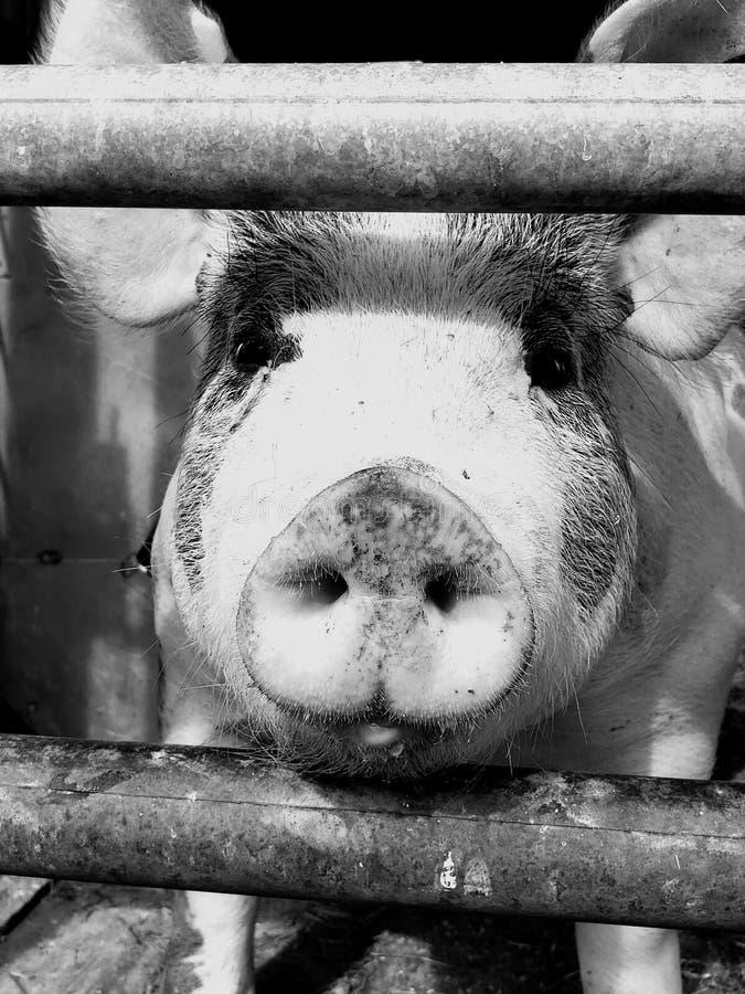 Wilma el cerdo del animal doméstico de la granja fotografía de archivo