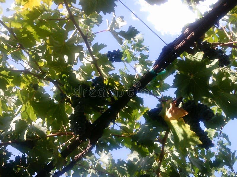 Wilson Creek Winery & Vineyards royalty free stock photo