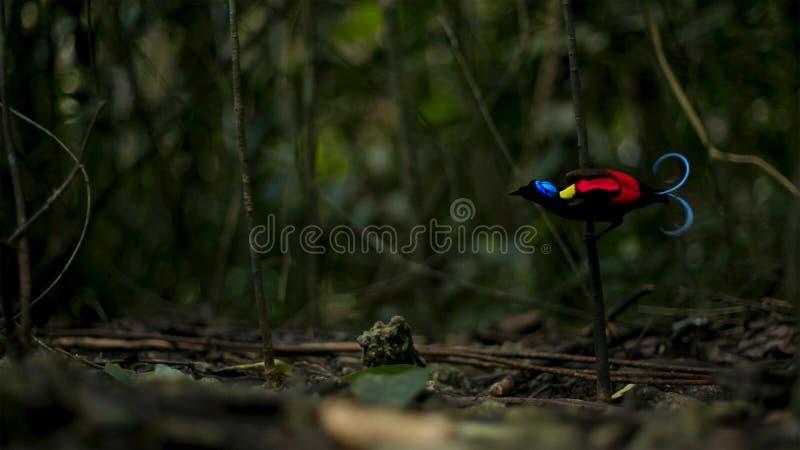 Wilson ptak raju konkurowanie przyciągać kobiety tanczyć w ponurości lasowa podłoga zdjęcia royalty free