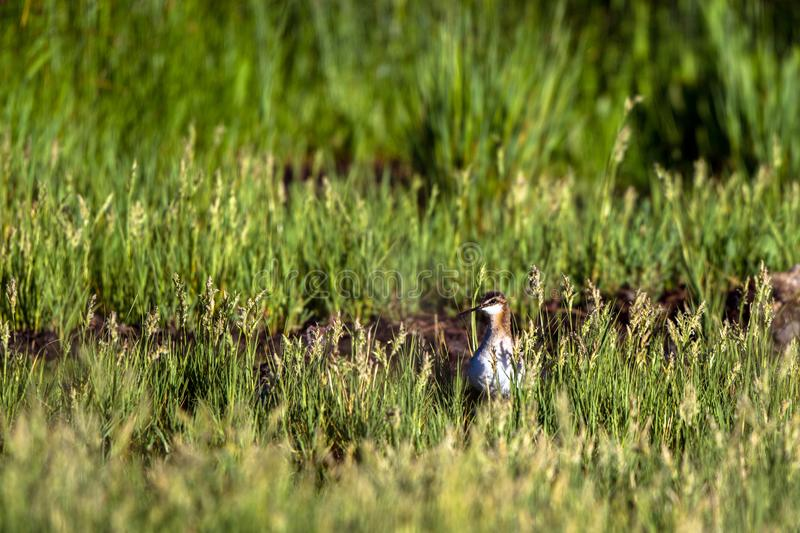 Wilson`s Phalarope hunts a meal in a muddy part of a marsh stock photography